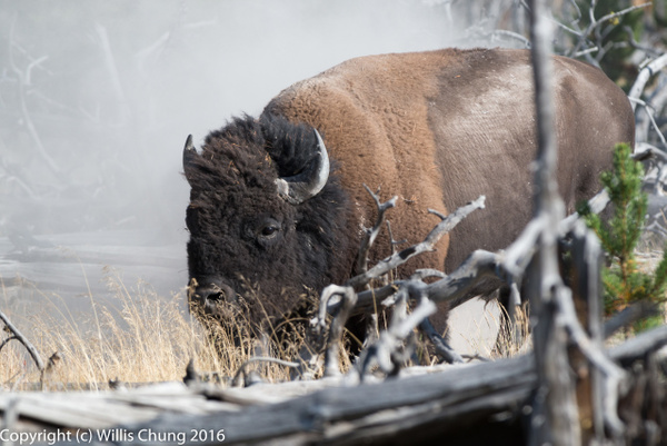 Day 3 PM 2 Bison Bull, Tangled Creek by Willis Chung