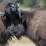 Day 4 PM Sentinel Meadows East: Bison Herd