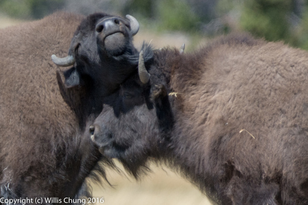 Day 4 PM Sentinel Meadows East: Bison Herd by Willis...