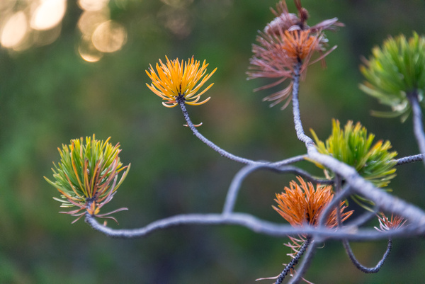 Colors of stress. Pine branches near Steamboat Geyser, Norris Geyser Basin, Yellowstone NP.