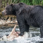 Day 6 PM Grizzly feeding at Lehardy Rapids