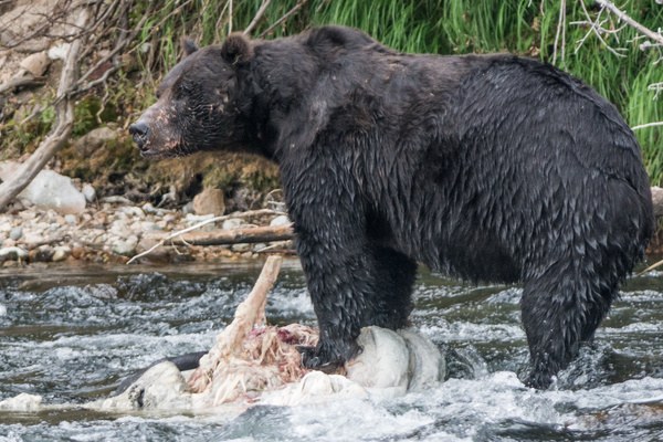 Day 6 PM Grizzly feeding at Lehardy Rapids by Willis...