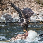 Day 6 PM Birds at Lehardy Rapids