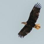 Day 9 AM Animals at Hayden Valley