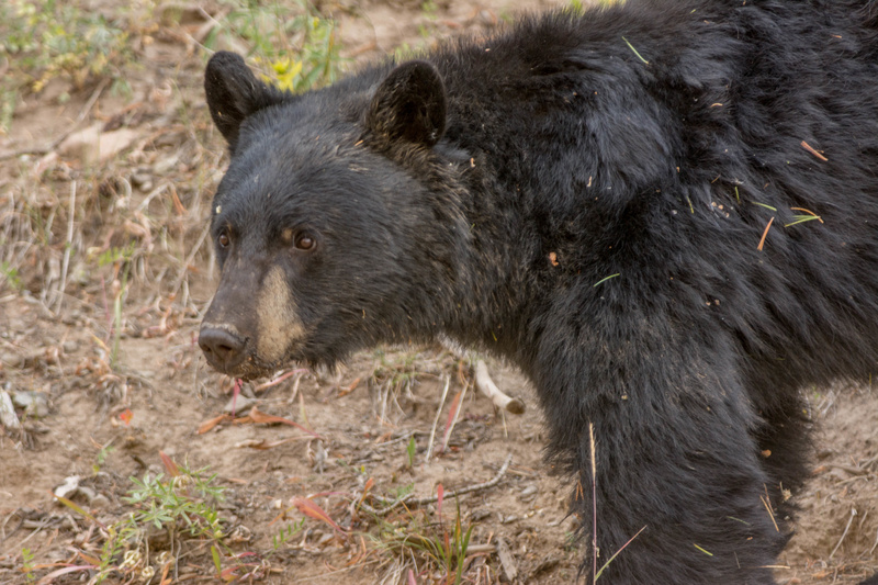 Black bear pausing to check for traffic before crossing the road.