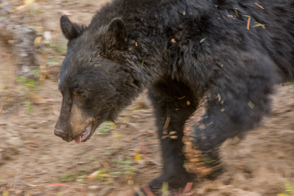 Black bear on the move, across the road from me. by...
