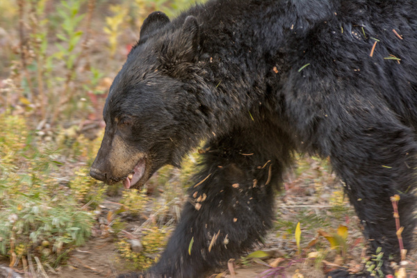Black bear on the move, across road from me. This is an...