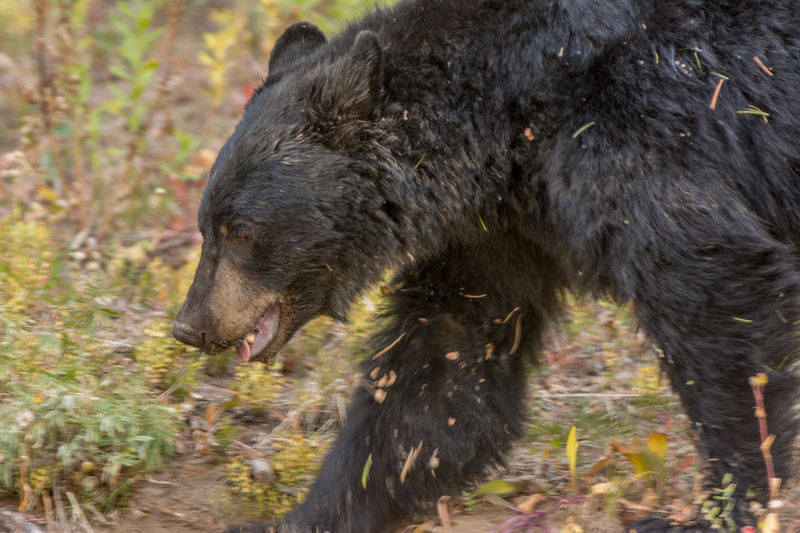 Black bear on the move, across road from me. This is an uncropped DX image, 500mm at 1/100th second!