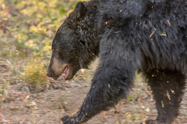 Black bear on the move, on opposite side of the road. by...