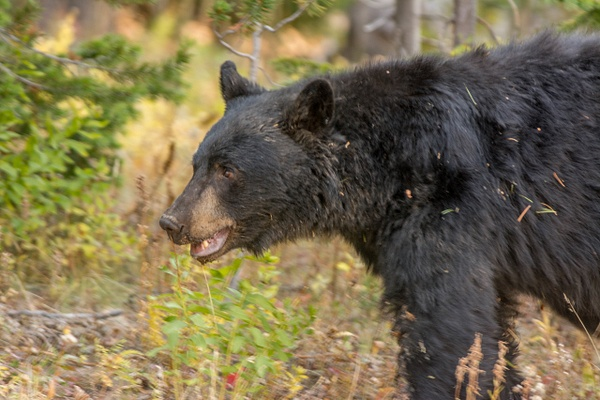 Black bear on the move, starting to parallel the road I...