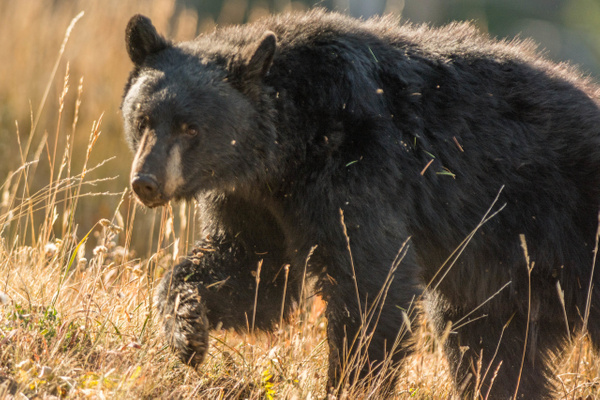 Black bear on the move by Willis Chung