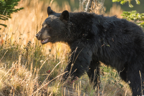 Black bear on the move. Fall colors in the background....