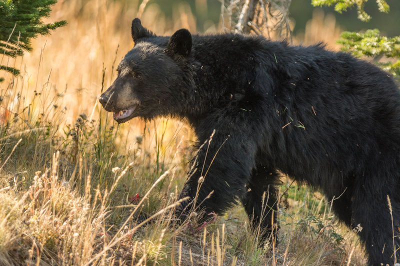 Black bear on the move. Fall colors in the background.