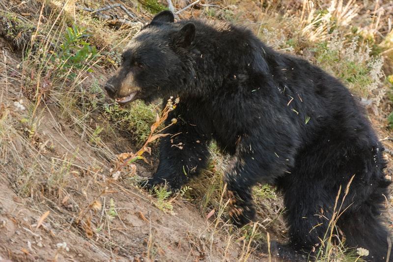 Black bear on the move
