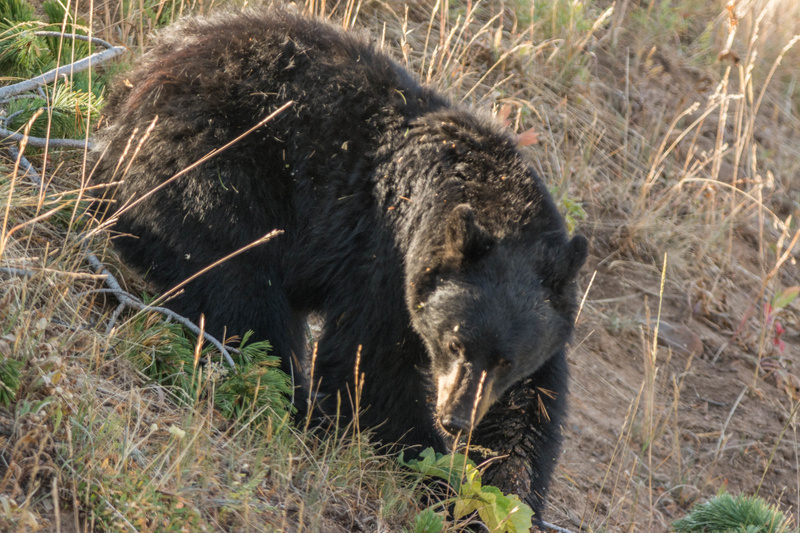 Black bear pauses while eating to check us out.