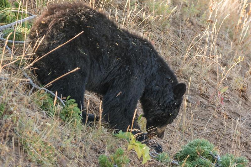 Black bear eating pine cones