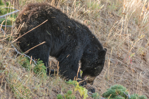 Black bear eating pine cones by Willis Chung