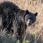 Day 10 AM Black Bear in pine tree