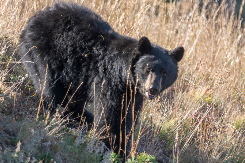 Black bear examining pine boughs for pine cones to eat