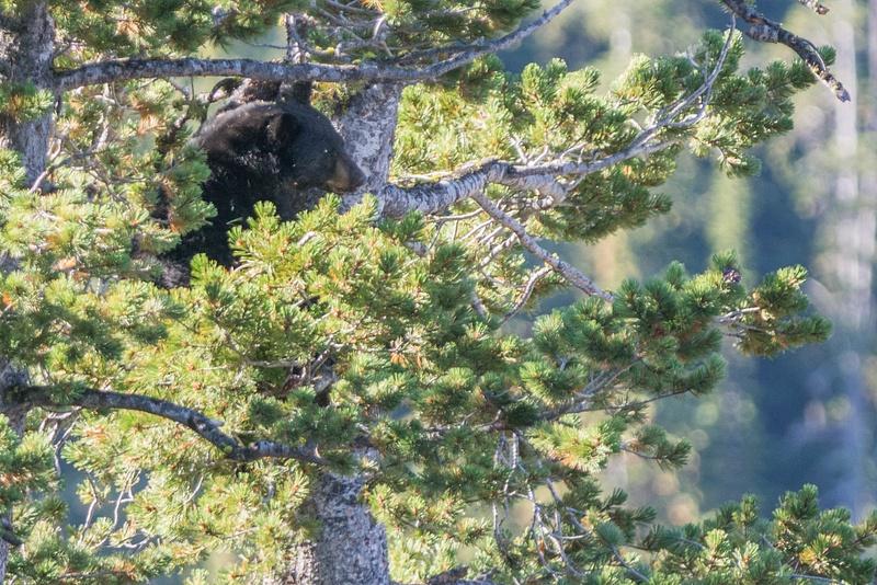 Black bear climbing down from pine tree