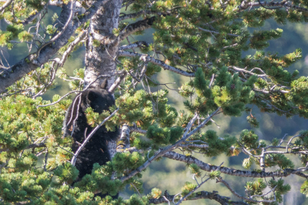 Black bear climbing down from pine tree by Willis Chung