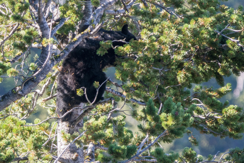 Black bear in a pine tree, knocking branches down to eat the pine cones.