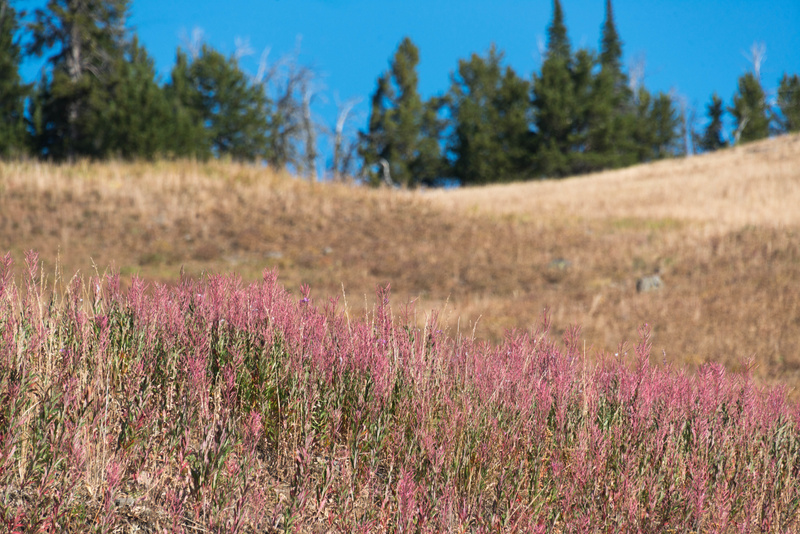 Fireweed on the other side of the road