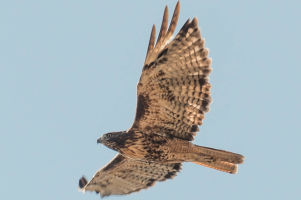 Red-tailed hawk circling overhead by Willis Chung