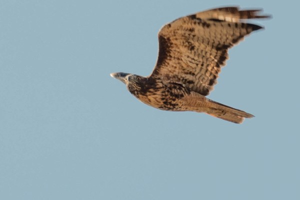 Getting eyeballed by a red-tailed hawk by Willis Chung