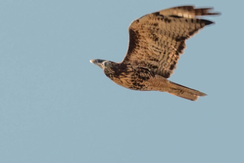 Getting eyeballed by a red-tailed hawk