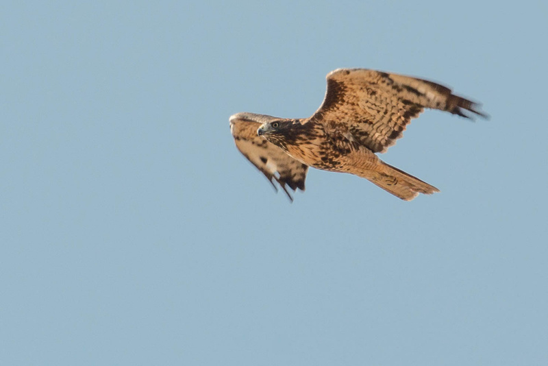 Red-tailed hawk circling overhead
