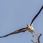 Day 13 Osprey Nest Lamar Valley