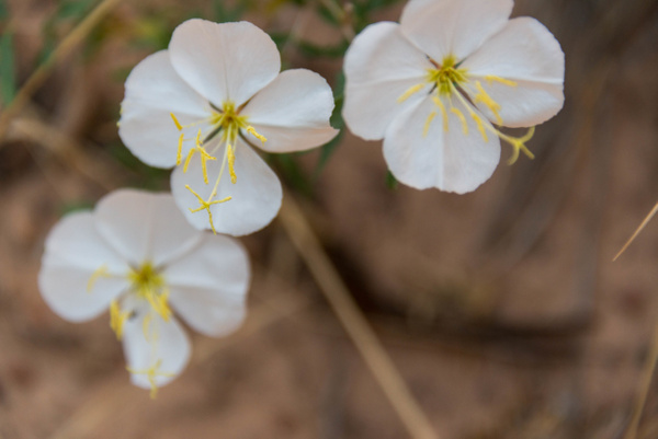 Pale evening primrose by Willis Chung