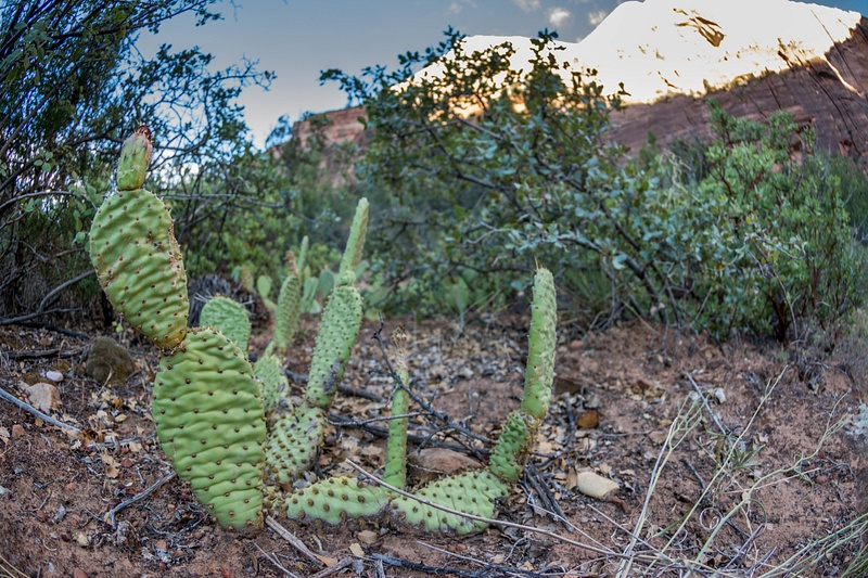 Superwide view of prickly pear.
