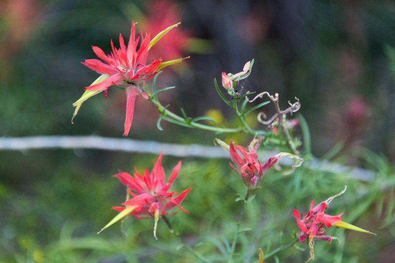 Young indian paintbrush