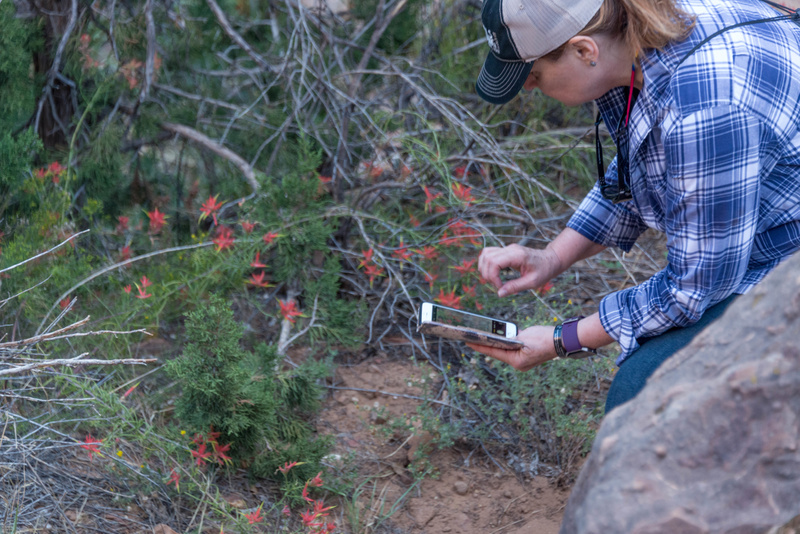 Peggy finding some young Indian Paintbrush