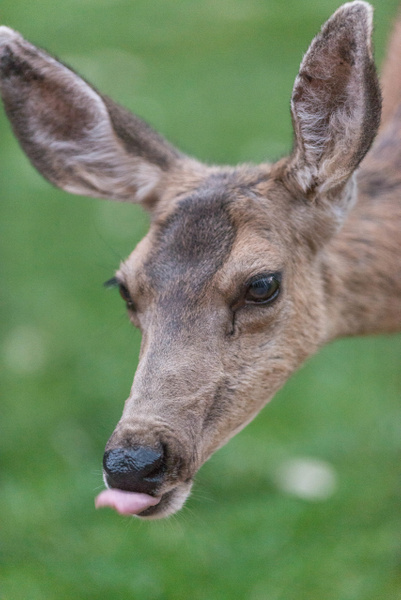 Mule deer doe cleaning up after grazing. by Willis Chung