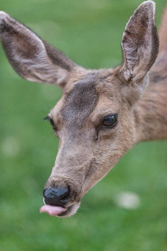 Mule deer doe cleaning up after grazing.