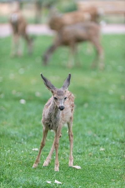 Mule deer fawn looking cute by Willis Chung