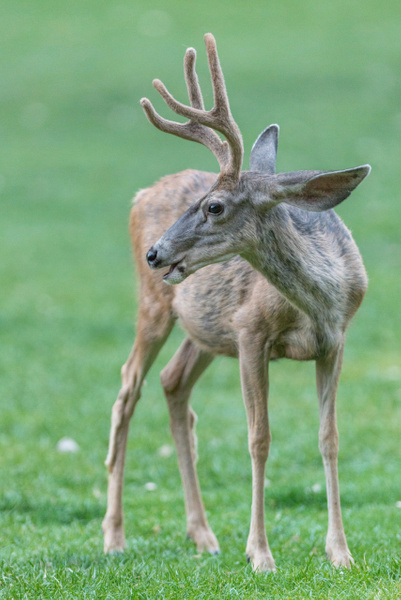 Young mule deer buck by Willis Chung