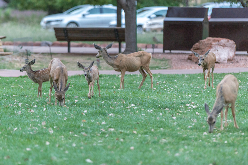 More mule deer families arriving.