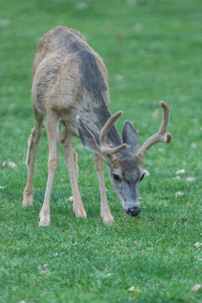 Young mule deer buck grazing on lawn by Willis Chung