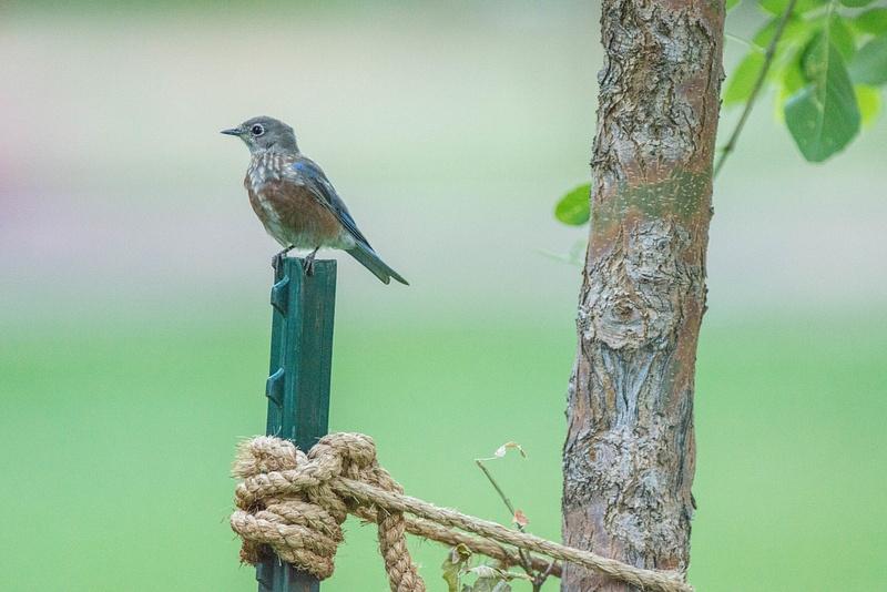 Possible western bluebird