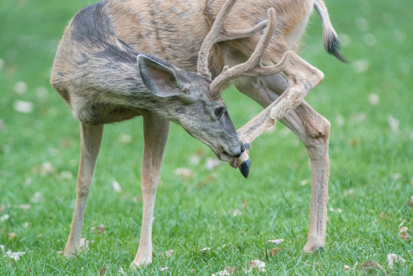 Young mule deer buck with velvety antlers on the big...
