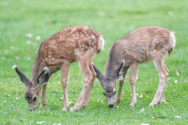 The mule deer fawns on the big lawn at Zion Lodge. by...
