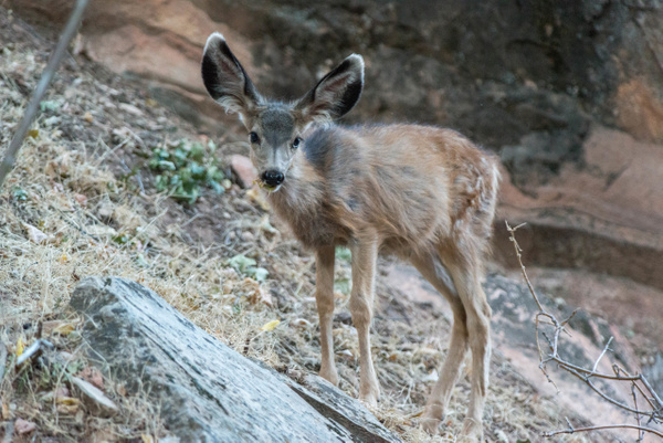 Mule deer fawn by Willis Chung