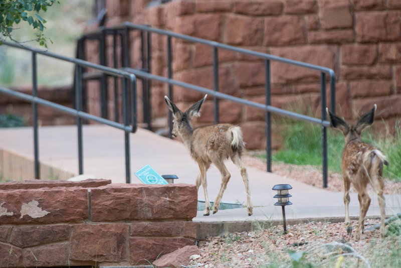 Fawns check out ADA access to the rooms at Zion Lodge