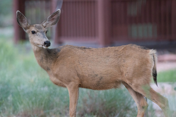 Alert doe watches for threats to her two fawns. by...