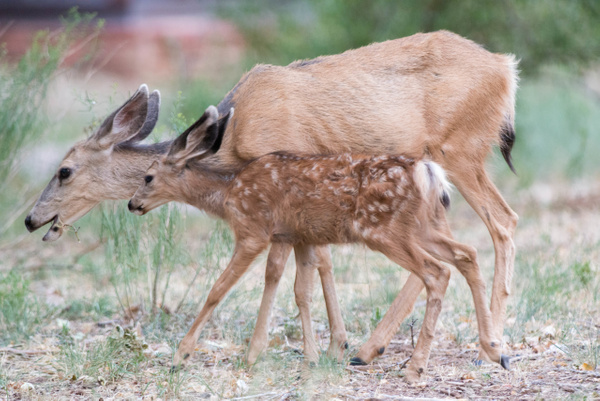 Doe and fawn grazing on native plants near Zion Lodge by...