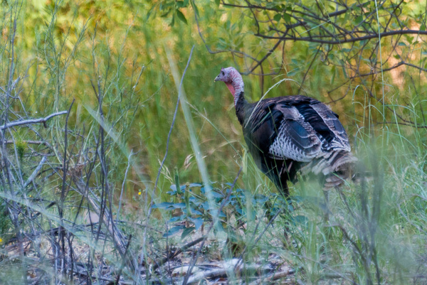 Came upon a flock of wild turkeys, which were rather...